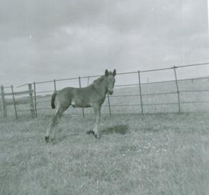 Chapman Foal